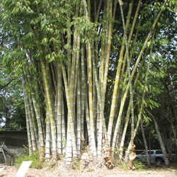 Bamboo nurseries, organic material in Costa Rica