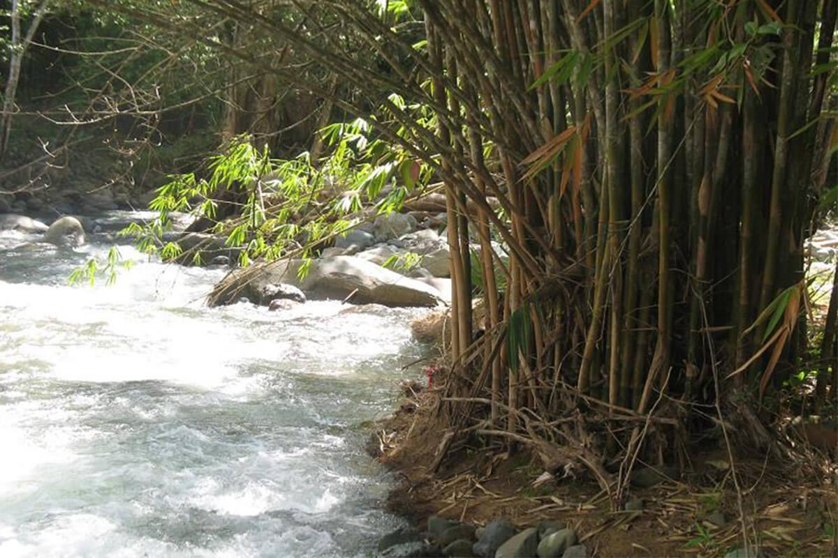 La siembra de Bambú en las cuencas de ríos y nacientes